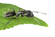 Ant immunization - Bertin Bioreagent