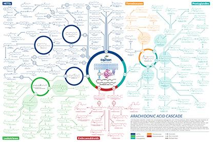 Arachinodic Acid Cascade Poster